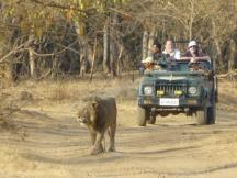 Lion in Sasan Gir National Park - Hotels in Sasan Gir