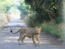 Lion in Sasan Gir - Hotels in Sasan Gir