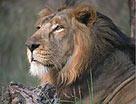 Sasan Gir Lions - Sasan Gir Tourism